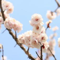 柏原加工紙(株)近くの梅の木も花が満開!!