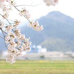 柏原加工紙(株)に咲いた桜の木は満開です❀
