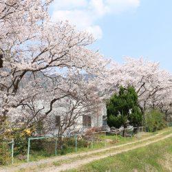 今年も会社の桜は綺麗に咲きました。