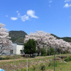 柏原加工紙㈱の2020年今年の桜風景☆