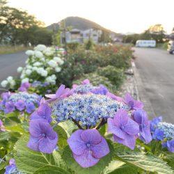 梅雨の中休みに紫陽花を。