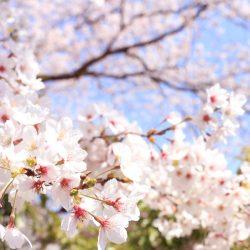 柏原加工紙㈱の桜も満開です!!